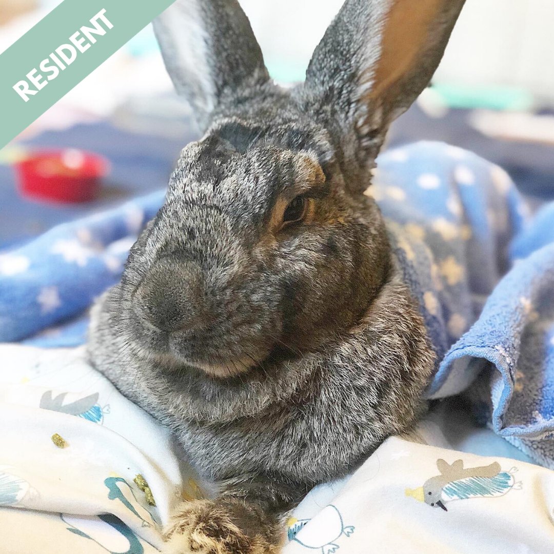 Bo - The Handicap Bow Legged Bunny